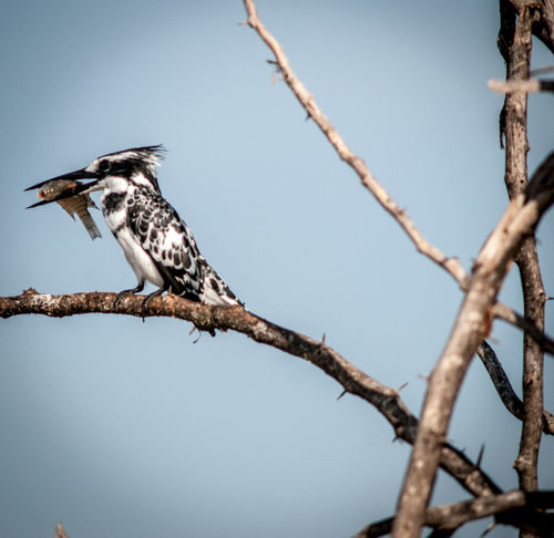 An Eye For Travel Bird Photography Black And White Kingfisher EyeEm Birds Kenya Kingfisher Lake Baringo The Week on EyeEm Animal Themes Animals In The Wild Beauty In Nature Bird Bird Paradise Bird With Fish Bird With Prey Branch Eyyem Naure Lover Kingfisher And Fish Nature No People