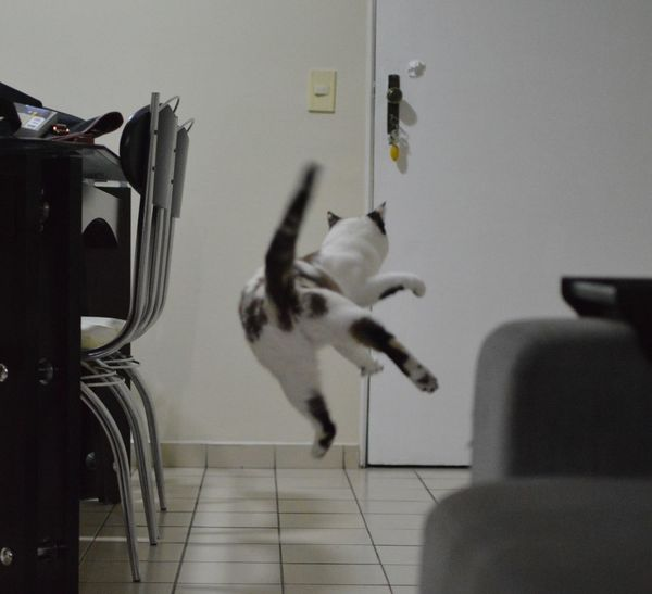 When I tell that Amora catches the ball and take it back, no one believes. Ball Brincando Cat Chair Close-up Empty Focus On Foreground Gato No People Playful Playing With The Animals Selective Focus Need For Speed