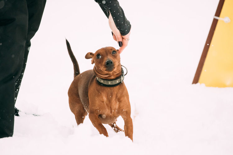 Funny Dog Red Brown Miniature Pinscher Pincher Min Pin Zwergpinscher Running In Snow During Agility Dog Training At Winter Season. Snow Pets Dog Purebred Breed Pedigree Winter White Playing Animal Funny Red Brown Miniature Pinscher Pincher Min Pin Zwergpinscher Running