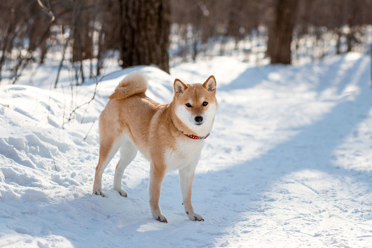 Red young dog shiba inu stands in the snow on a frosty day
