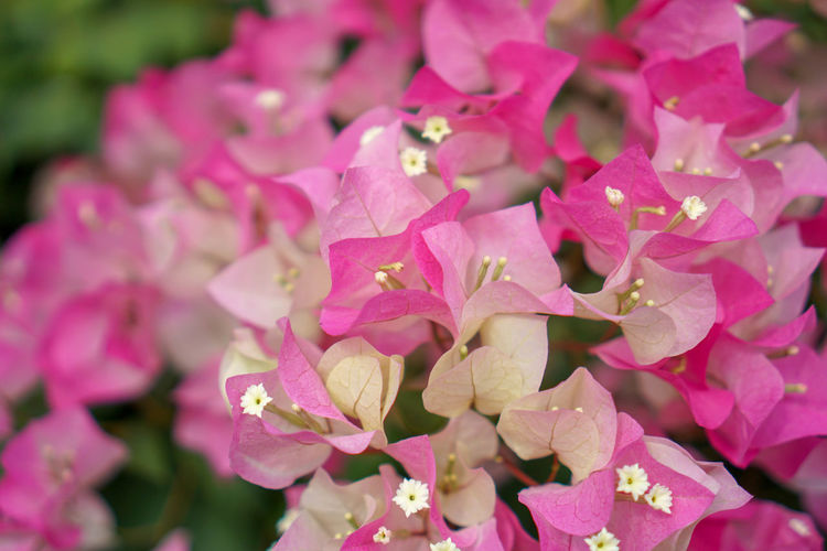 Beauty In Nature Blooming Bougaville Close-up Day Flower Flower Head Fragility Freshness Growth Nature No People Outdoors Petal Pink Color Plant