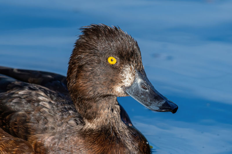 All-black Alone Animal Aythya Bill Bird Black Blue-grey Common Crest Cute Dark Diving Drake  Duck Eurasian Eye Feathers Flanks Fuligula Gold-yellow Gray HEAD Lake Life Male Nature One Sussex Tuft Tufted Uk Water Waterbird Waterfowl Wetland White Wild Wildfowl Wildlife Wing Yellow