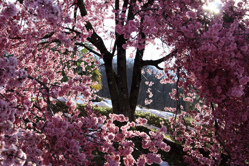 Cherry Flowers Cherry Blossoms Cherry Tree Flowers Pink Flower Spring Colors Lugano, Switzerland