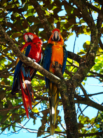 Nature - Birds Tree Animal Bird Vertebrate Animal Themes Animals In The Wild Animal Wildlife Low Angle View Perching Branch Plant Nature Day Macaw No People Beauty In Nature Outdoors Scarlet Macaw Nature Photography Nature On Your Doorstep EyeEm Nature Lover Colourful Nature Pair Of Birds Two Animals Natural Light Natural Habitat