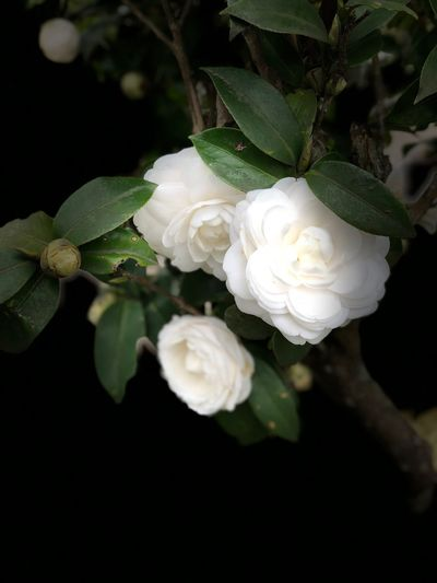 Flower White Color Petal Fragility Rose - Flower Beauty In Nature Nature Flower Head Freshness Growth Plant Close-up Blossom No People Blooming Leaf Night Springtime Wild Rose Outdoors