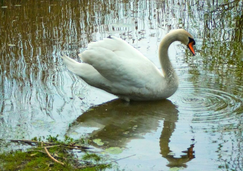 Il riflesso della bellezza EyeEmNewHere EyeEm Nature Lover EyeEm Selects Cigno Canon Canonphotography Lake Varese Italy Reflex Winter Beauty In Nature Swan Bird Water Swimming Black Swan Beak Lake Floating On Water Water Bird Reflection Cygnet Duckling Swimming Animal Adult Animal