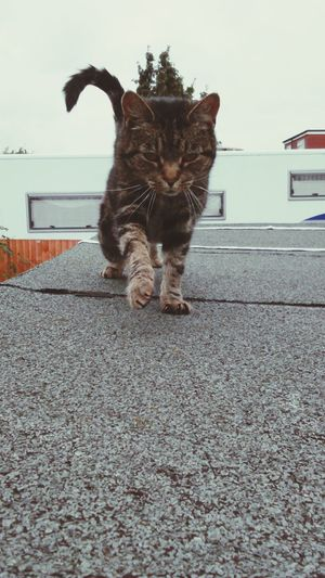 Animal Themes One Animal Domestic Cat Domestic Animals Cat Whisker Building Exterior Outdoors Focus On Foreground Feline Random Cat Neighbourhood Cat Cat On A Roof Cat On The Roof Cat On The Prowl Caturday Happy Caturday Movement Capturing Movement Paws Happy Cat Cat Tail