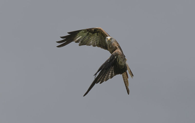 Red Kite Animal