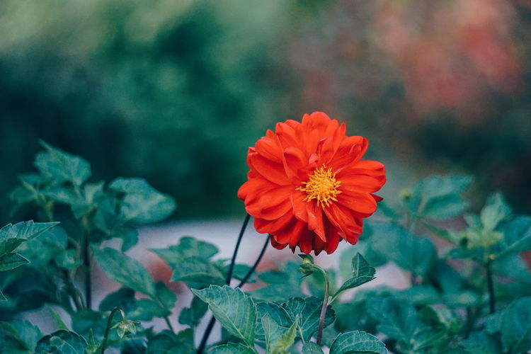 One red Dahlia Dahlia Flowers Dahlia Flowering Plant Flower Plant Freshness Fragility Beauty In Nature Vulnerability  Petal Inflorescence Plant Part Focus On Foreground Orange Color Nature Flower Head