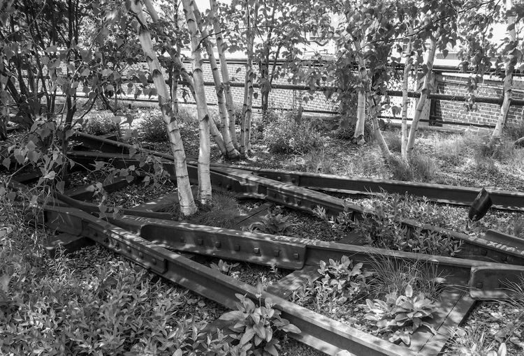 Birch Black And White Day Growth High Line Park, Nyc Nature No People Outdoors Plant Railroad Track Tree