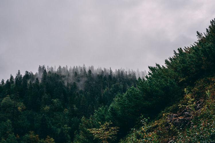 Pine trees on