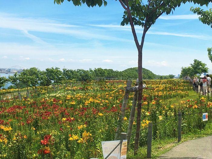 ゆり園 Lily @rt Gardens By The Bay Colorful Flowers Blue Sky Maishima Osaka City
