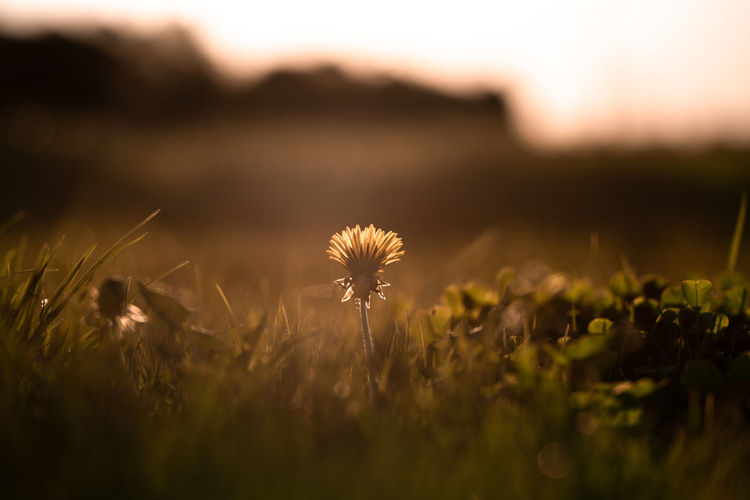 Took this on my todays photowalk Nature Taking Photos Beauty In Nature Close-up Dandelion Dandelion Seed Day Field Flower Flower Head Flowering Plant Fragility Freshness Grass Growth Inflorescence Land Nature No People Outdoors Plant Selective Focus Tranquility Vulnerability