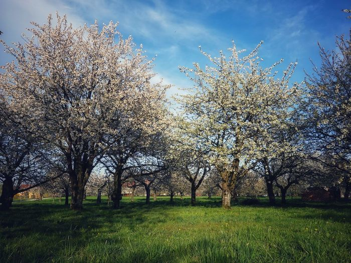 Cherry blossoms on field against sky
