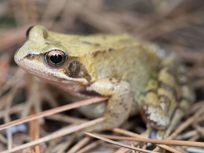 The Prince Amphibian Animal Animal Body Part Animal Eye Animal Scale Animal Themes Animal Wildlife Animals In The Wild Close-up Day Focus On Foreground Frog Kissing A Frog Nature No People One Animal Outdoors Plant Prince  Selective Focus Vertebrate