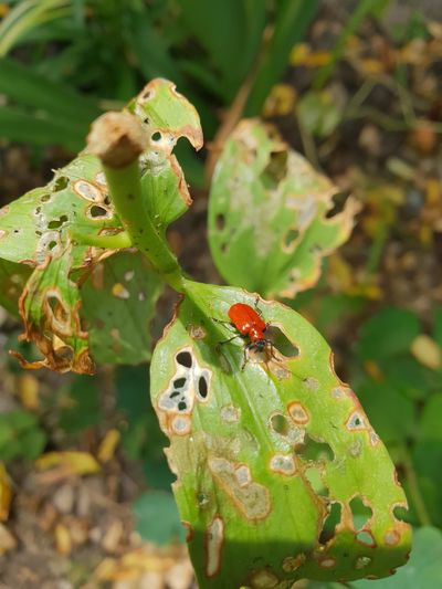 Lily beetle Red Colour Lily Beetle Scarlet Scarlet Lily Beetle Red Lily Beetle Lily Leaf Beetle Lilioceris Lilii Damaged Leafs Damage Damaged Leaf Damaged Leaves Lily Plant Infestation Leaf Eating Insects Lilium Adult Beetle Leaf Insect Close-up Plant Green Color