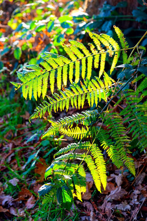 Autumn colors Autumn Leaves Bracken Autumn Colours Beauty In Nature Bracken Fern Close-up Day Fern Fern Plant Fern Plants Ferns Fragility Freshness Green Color Growth Leaf Light And Shadow Nature No People Outdoors Plant