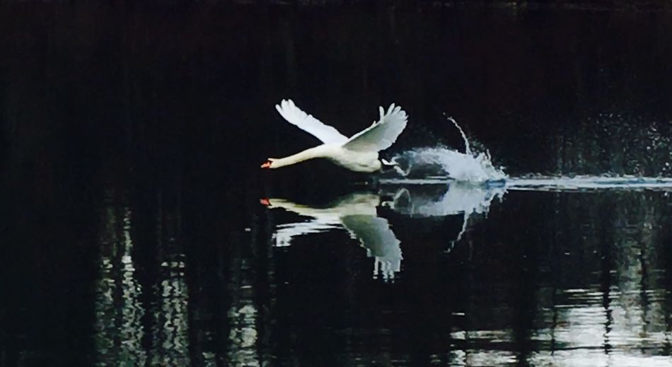 Showcase: February Swantastic Swan Schwanenfamilie Schwan  Schwäne Swans Swans ❤