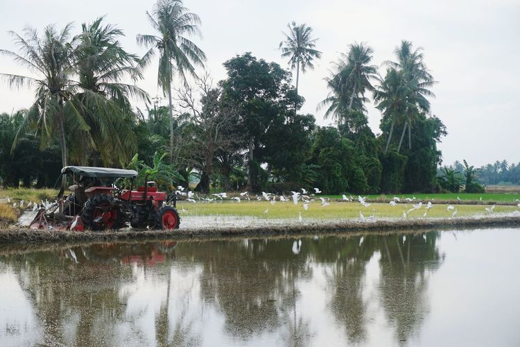 method of plowing in paddy field Sawah Padi Tourism Tree Water Reflection Sky Agricultural Field Farmland Countryside Calm Green