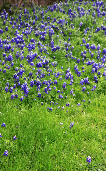 Beauty In Nature Close-up Day Field Flower Flower Head Flowerbed Flowering Plant Fragility Freshness Grass Green Color Growth High Angle View Land Nature No People Outdoors Plant Purple Springtime Vulnerability
