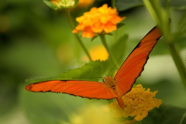 Butterfly Butterfly-insect Close-up Flower Fragility Freshness Insect Nature Orange Color Plant Yellow