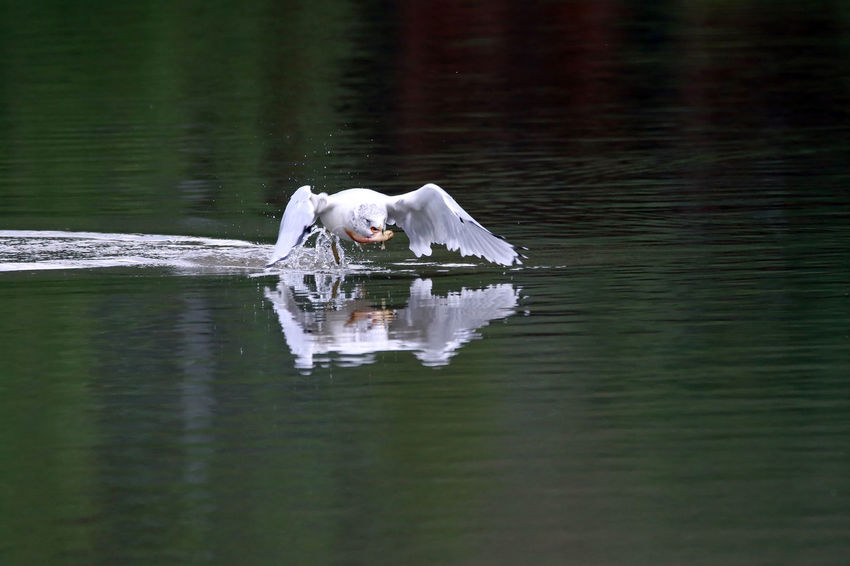 Ring-Billed Gull Animal Themes Animals In The Wild Beauty In Nature Bird Day EyeEm Nature Lover Green Color Lake Nature No People Non-urban Scene Outdoors Ring-billed Gull Scenics Swan Swimming Tranquil Scene Tranquility Water Water Bird Waterfront Zoology