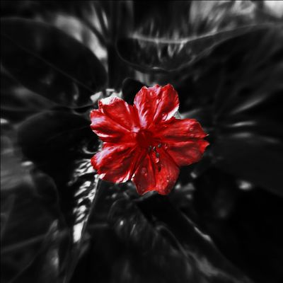 Flower Head Flower Hibiscus Poppy Red Petal Black Background Close-up Botany Apple Blossom In Bloom Iris - Plant Isolated Color Blooming Blossom Pollen Focus Springtime Stamen Single Rose Daisy Plant Life Dahlia Day Lily Gerbera Daisy Pistil