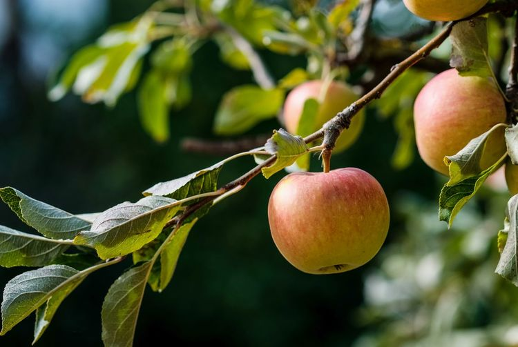 Apfelernte Apple - Fruit Branch Close-up Day Focus On Foreground Food Food And Drink Freshness Fruit Fruit Tree Green Color Growth Healthy Eating Leaf Nature No People Outdoors Plant Plant Part Ripe Tree Wellbeing äpfel Am Baum