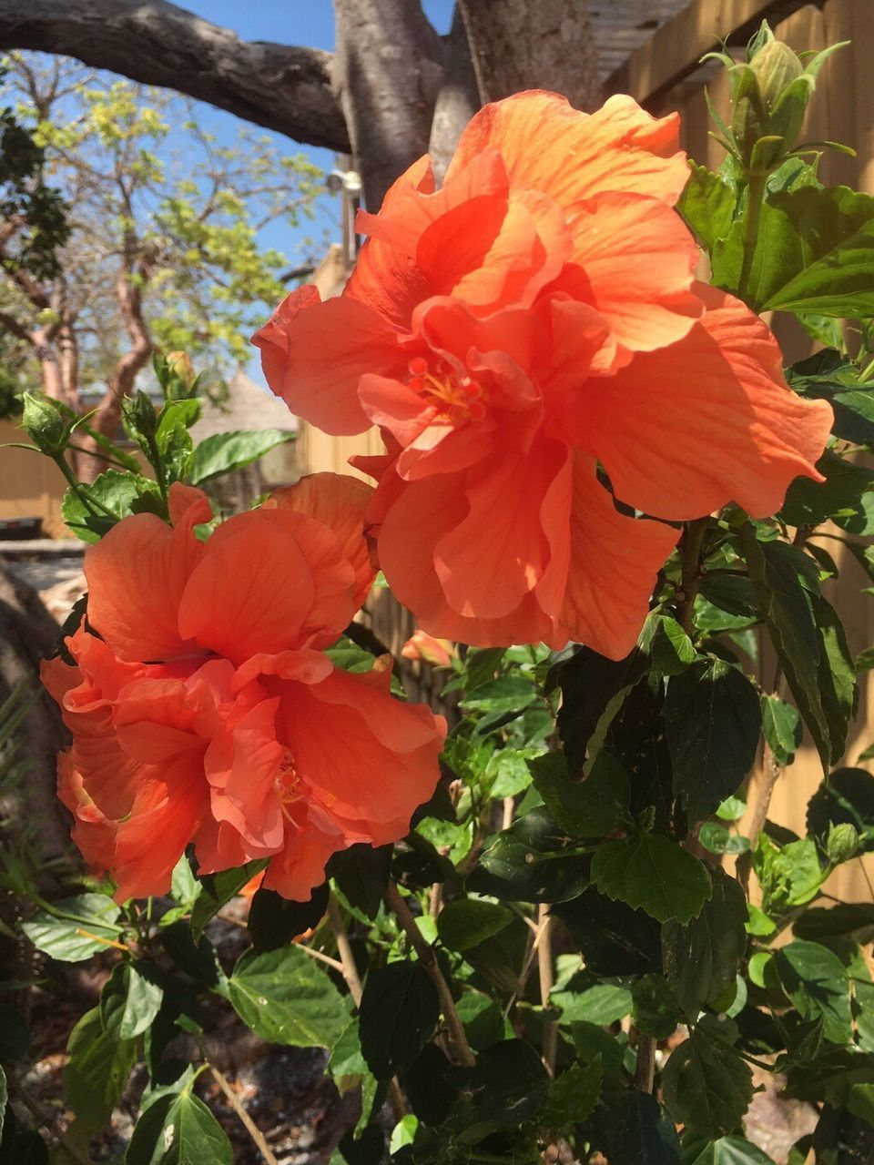 flower, beauty in nature, petal, growth, nature, flower head, fragility, no people, orange color, plant, freshness, outdoors, day, blooming, stamen, hibiscus, close-up, tree