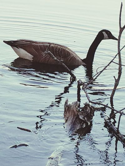 Animals In The Wild Animal Wildlife Reflection Water Nature No People One Animal Swimming Outdoors Bird Beauty In Nature Close-up Animal Themes Goose Popular Photos