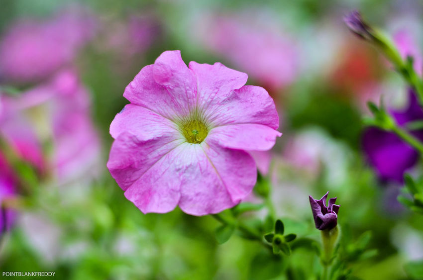 Beauty In Nature Bloom Blooming Blossom Botany Close-up Day Flower Flower Head Focus On Foreground Fragility Freshness Garden Growing Growth In Bloom Nature Petal Pink Pink Color Plant Plant Life Springtime Vibrant Color