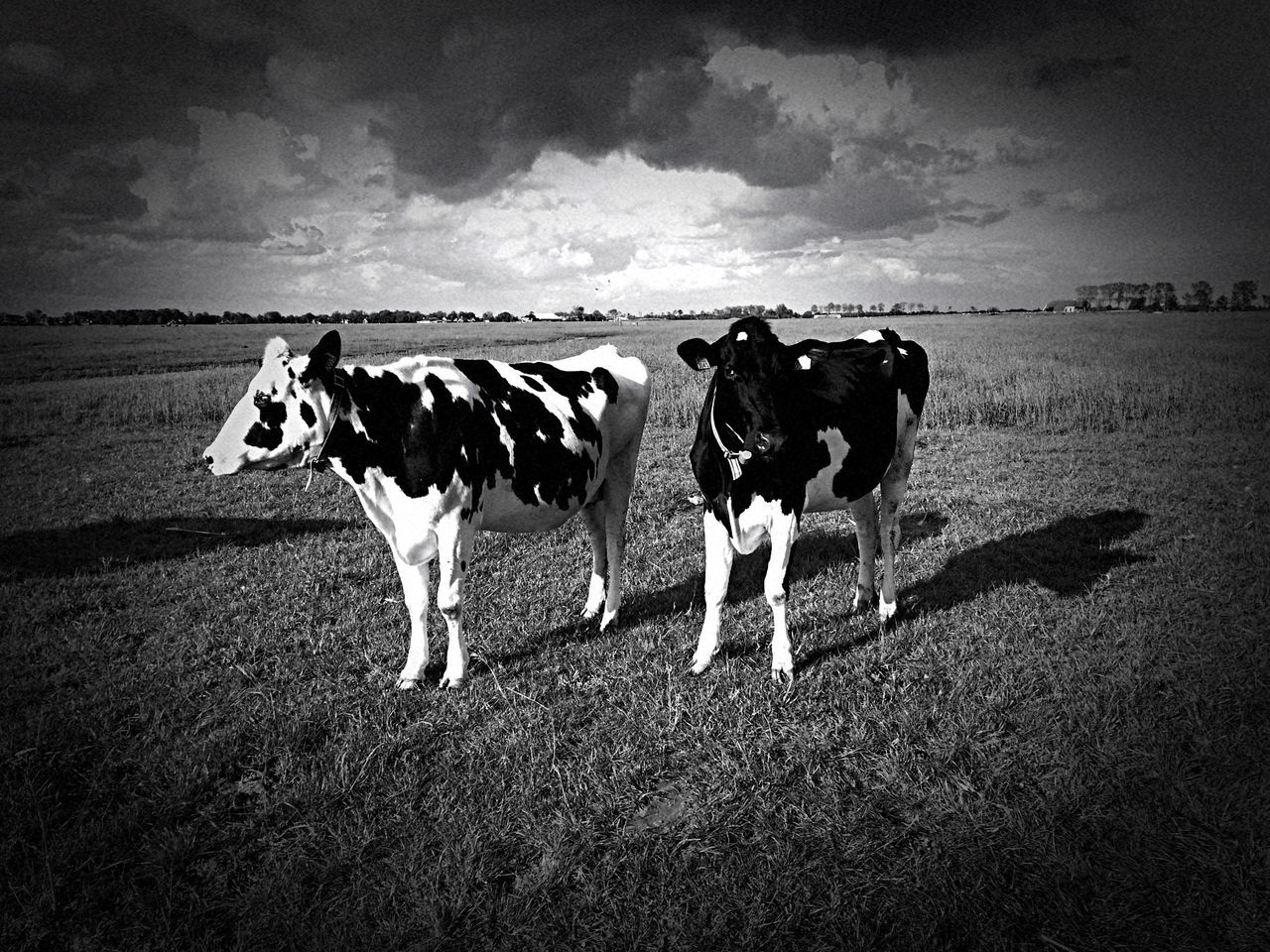 domestic animals, animal themes, mammal, livestock, cow, no people, field, outdoors, sky, landscape, grazing, grass, nature, day