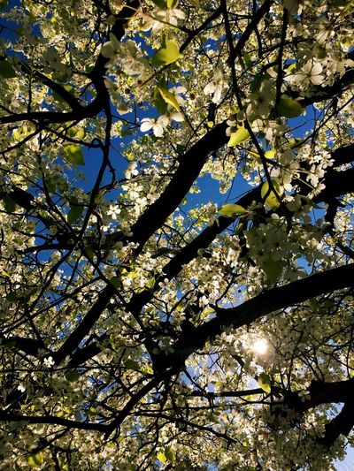 Nature Tree Branch Nature Beauty In Nature Growth Low Angle View Blossom Freshness Sunlight Day Sky Backgrounds White