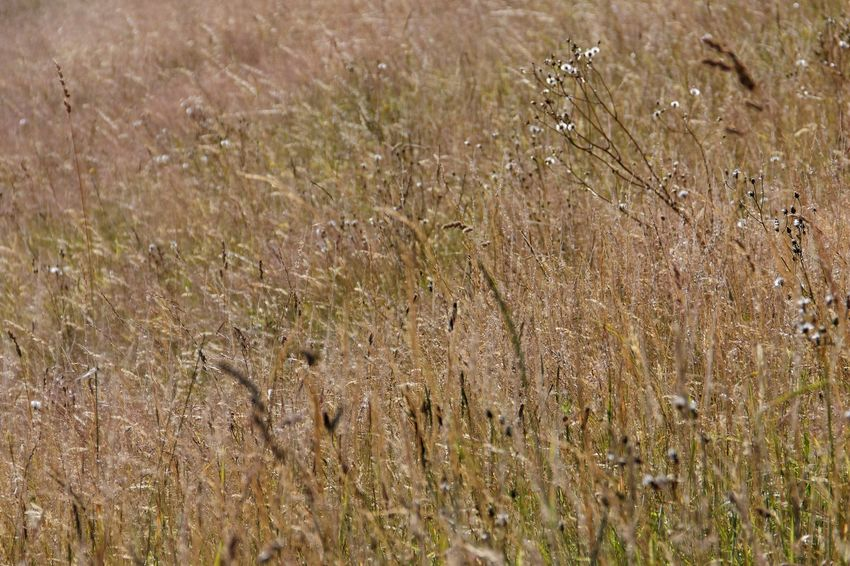 Agriculture Backgrounds Beauty In Nature Cereal Plant Close-up Day Field Grass Growth Nature No People Outdoors Plant Rural Scene Tranquility Wheat