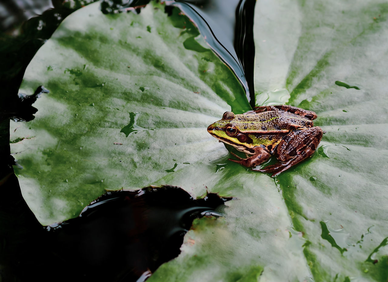 CLOSE-UP OF A FROG