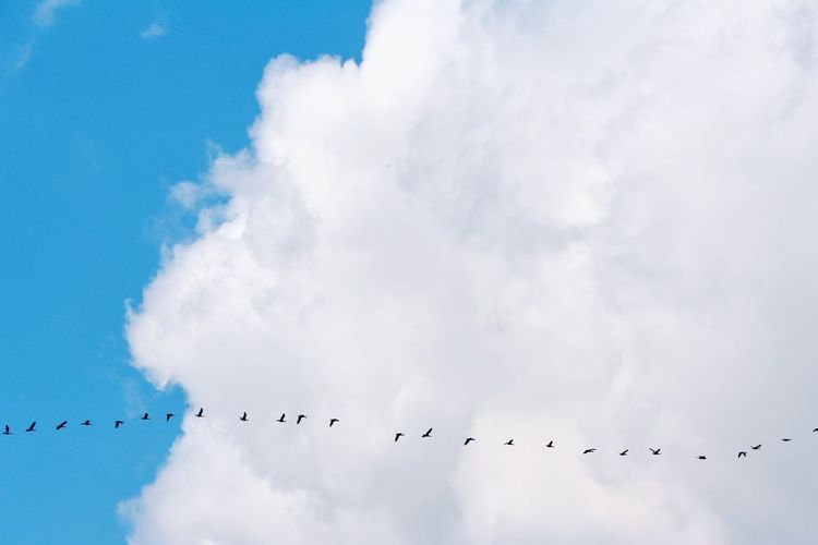 Queueing Cloud Cloud - Sky Clouds And Sky Lines Goose Grey Goose Bird Flamingo Flying Flock Of Birds Blue Sky Animal Themes Cloud - Sky Animal Migration Colony Migrating Stork White Stork Formation Flying Group Of Animals Spread Wings