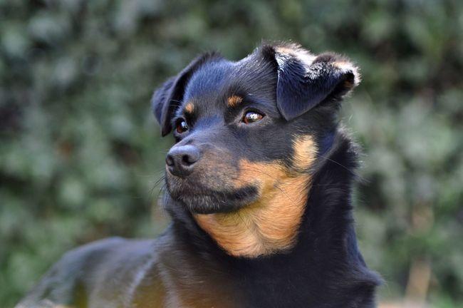 Dog Terrier Dachshund Carlos Pinscher Hund Dackel Portrait Dogs Of EyeEm Dogportrait Animal Photography Dogoftheday Nikonphotography NikonD5000 Nikon Fresh On Eyeem