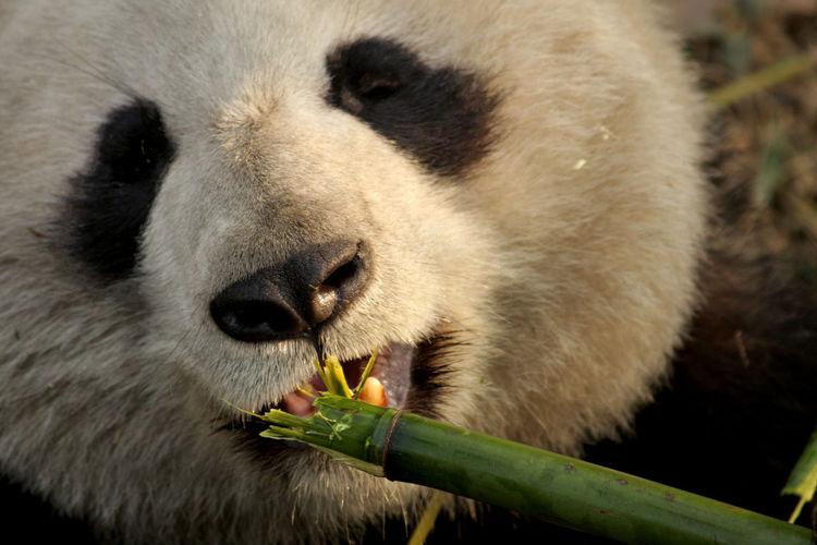 Close-Up Of Giant Panda Eating Bamboo