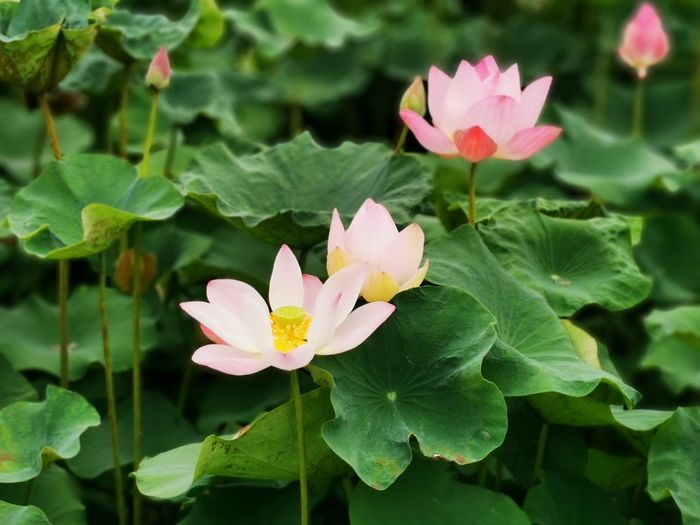Close-up of pink lotus water lily on leaves