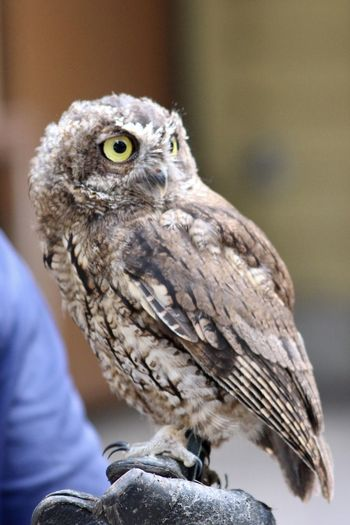 Close-up of owl perching on hand