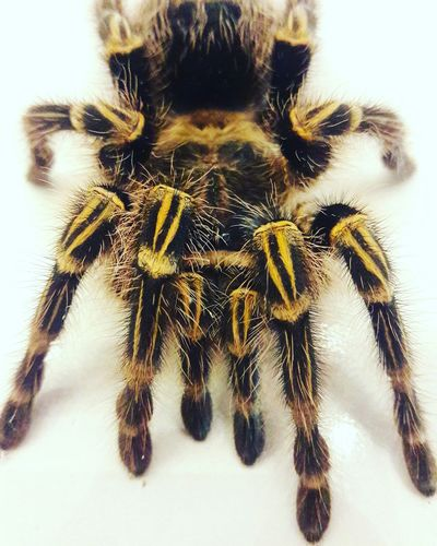 Tarantula Animal Themes Close-up Animals In The Wild No People Spider One Animal Outdoors Nature Day Insect The Street Photographer - 2017 EyeEm Awards Tarantula Animais
