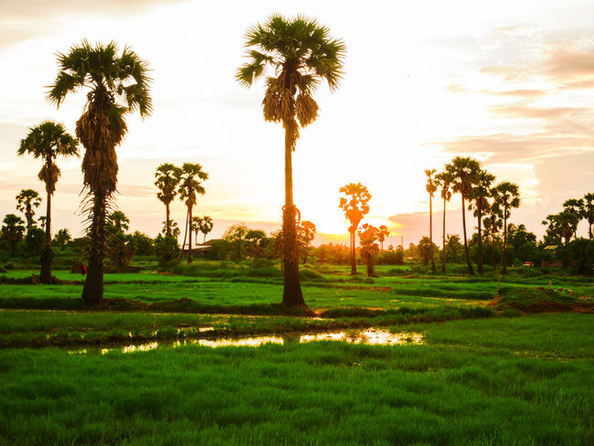 SUNSET Beauty In Nature Day Field Grass Green Color Growth Landscape Nature No People Outdoors Palm Tree Rice Paddy Scenics Silhouette Sky Sunset Tranquil Scene Tranquility Tree Tree Trunk