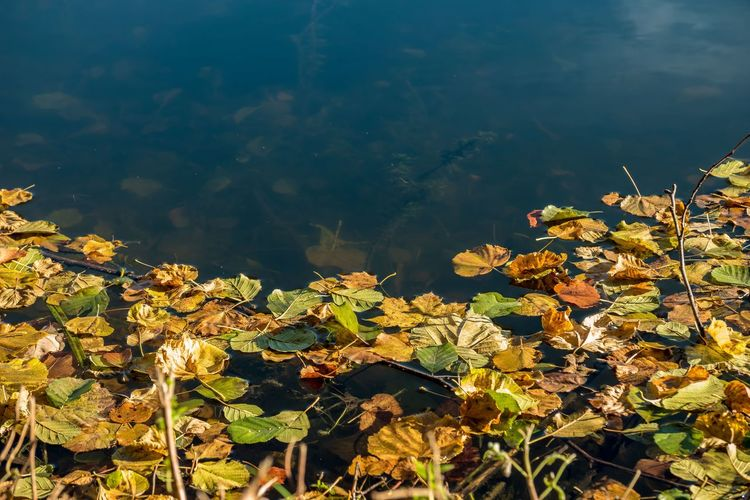Water Leaf Lake Beauty In Nature Nature Autumn Yellow Floating On Water Scenics Water Plant Freshness Bow Bowties Colorful Autumn Colors Autumn🍁🍁🍁 EyeEmBestPics EyeEm Best Shots Eyemgallery Herbst Eyeem Market Hallo World Fragility Water Reflections Watercolor