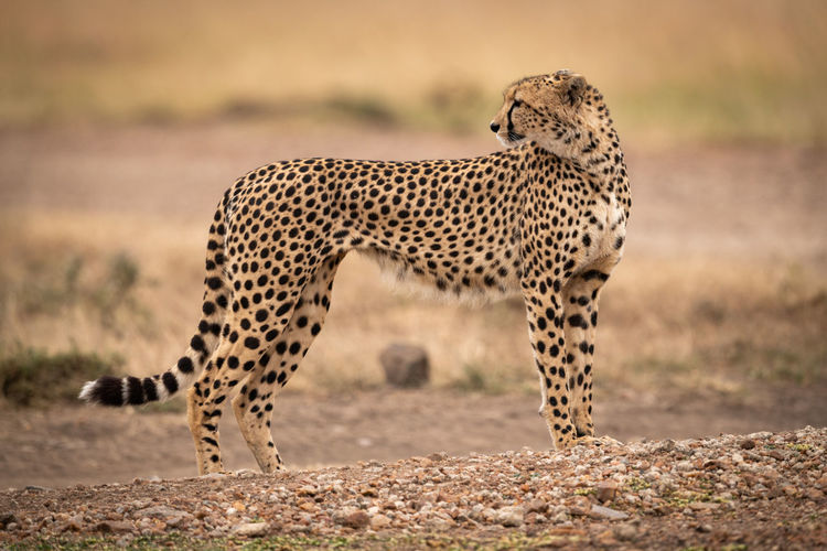 Cheetah on field