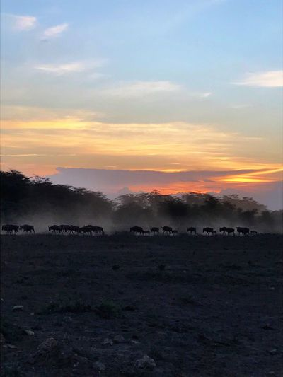 Whild Beest Nature Sky Beauty In Nature Landscape Tranquility Sunset Scenics No People Tranquil Scene Night Animal Themes Animals In The Wild Animals Safari Safari Animals Togetherness African Beauty Savannah Big Group Of Animals Freedom Whildlife Whilde Walking