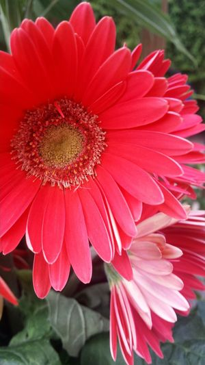 Taking Photos Check This Out Beautiful Nature 🌞The Essence Of Summer Summertime Beautiful Day Sunrays Morning Garden Photography Flowers_collection Beautiful Flowers🌸 Flower Collection 💖Gerbera Flower Gerberaflower
