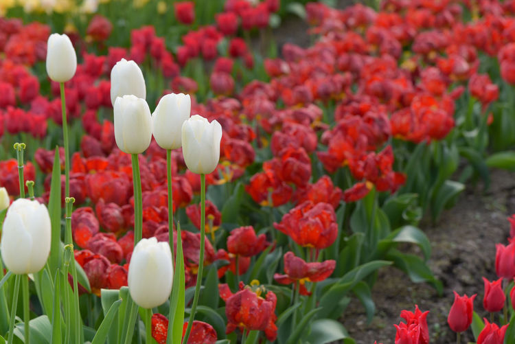 Close-up of tulips blooming outdoors