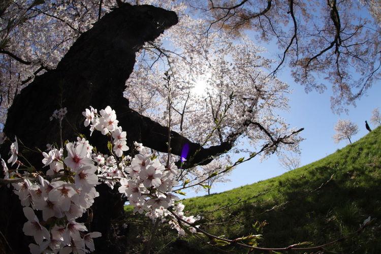 満開だ~😆🌸🌸🌸🌸🌸 Tree Flower Branch Springtime Full Length Sky Cherry Blossom Cherry Tree