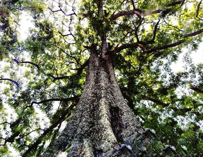 Dhanis Tree