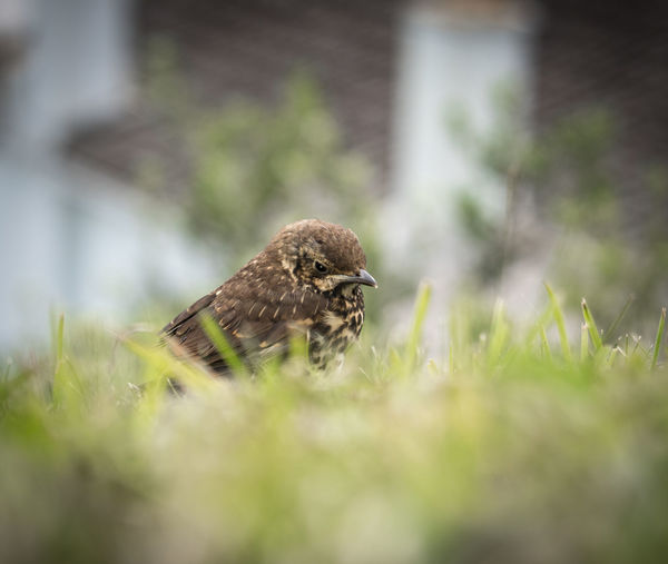 fledgling song